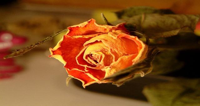 dried-rose-k